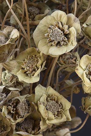 /graphics/Dried_flowers/chocolate_flower_close.jpg