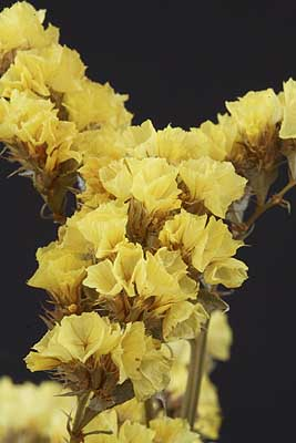 /graphics/Dried_flowers/statice_yellow_close.jpg