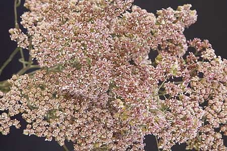 /graphics/Dried_flowers/yarrow_close_L2_pink.jpg