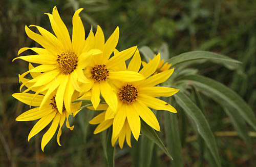 Sunflowers, Perennial Helianthus maximiliani