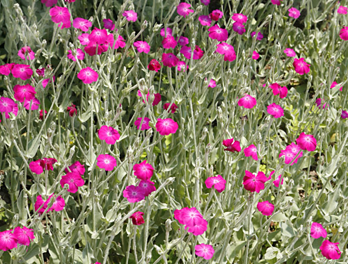 Rose Campion Lychnis coronaria