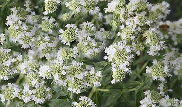 Mountain Mint Pycnanthemum pilosum