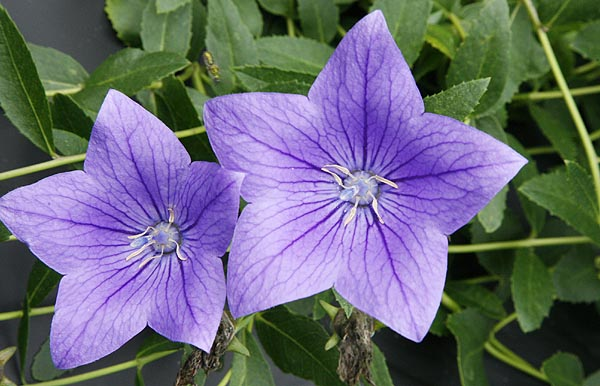 Balloon Flower Platycodon grandiflorum