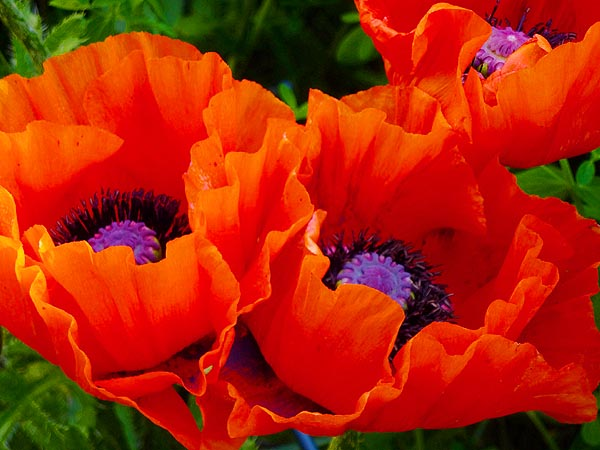 Poppy Oriental Giant Red Papaver oreintale