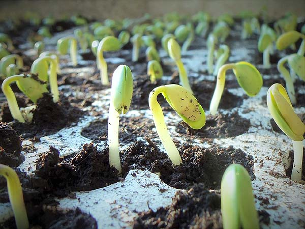 Larger bean-like seeds germinate very quickly