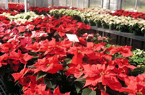 Portion of the Poinsettia trials at Rutgers University.