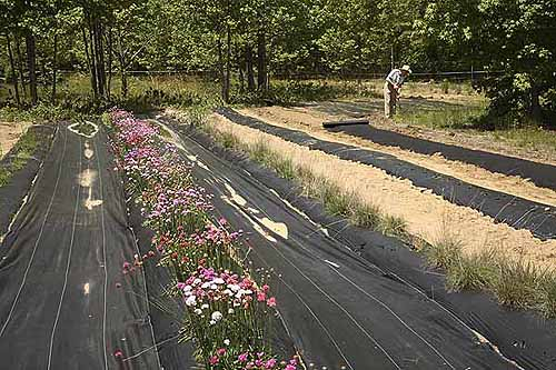 Laying mulch in side field with flowering thrift